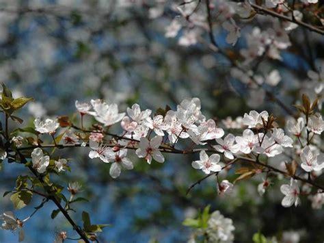 prunus da fiore prunus da fiore prunus giardinaggio mobi