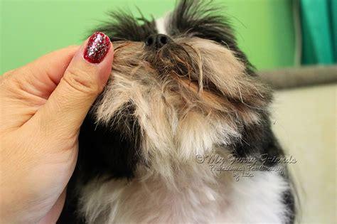 grooming shih tzu ear hair grooming a shih tzu ears breeds picture