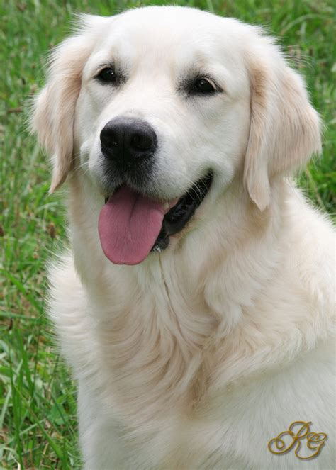kathy s golden retrievers white retriever pets