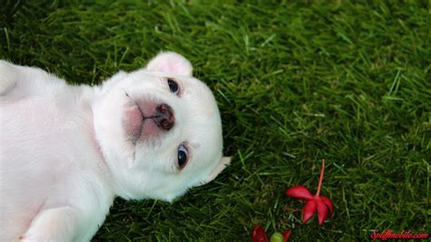 puppy wallpaper hd hd adorable puppy wallpaper