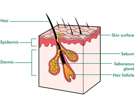 diagram of a skin simple basic animal cell diagram simple eukaryotic cell