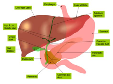 Bilirubin Detox by 6 Warning Signs Of An Unhealthy Liver Healthhype
