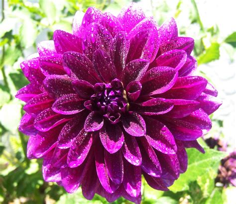 Home Design Articles by The 2 Minute Gardener Photo Dahlia Dahlia Sp