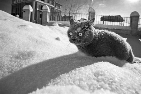 Cocaine Cat Meme - cocaine cat blank template imgflip