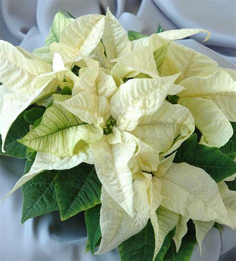 kukkakauppa white poinsettia plant dataflora