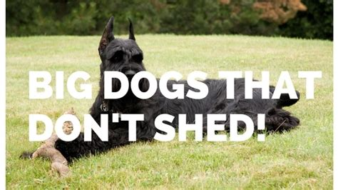 big dogs that dont shed big dogs that don t shed hypo allergenic dogs big breeds