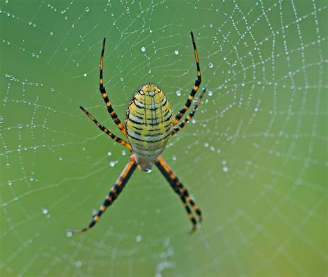 Garden Spider by Garden Spider Philip Schwarz Photography