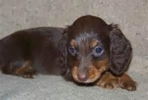 Carolina puppies carolina dachshund puppies breed