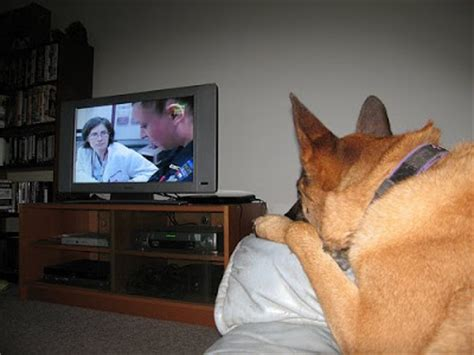 can dogs see tv frequently barked questions do dogs tv can they see colors touleh
