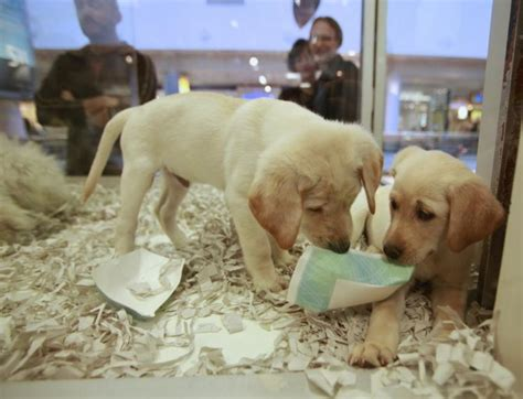 pet shops with puppies new california says pet shops only allowed to sell rescues ny daily news