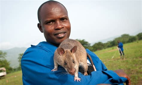 Topi Logo Aids rats used to detect land mines can now also diagnose