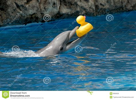 dolphin rubber st yellow river pictures posters news and on your