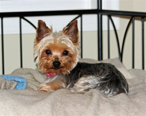 ok yorkie rescue pin yorkie puppy mill rescue image search results on