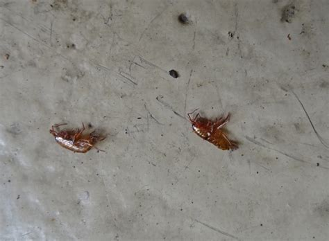 flea larvae on bed flea eggs on bed 28 images dealing with bed bugs when