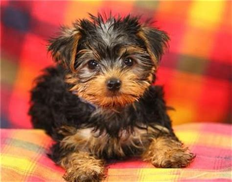 yorkie puppy facts terrier breed information photos doglers