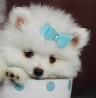 pomeranian puppies with hair 25 best ideas about teacup pomeranian puppy on teacup dogs pomeranian