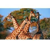 Giraffe Wallpaper Black And White Desktop