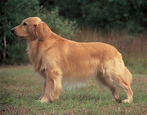 golden retriever puppies for sale in golden retriever puppies for sale puppy island