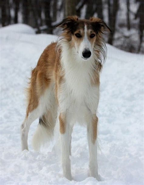 silken windhound puppies 17 best images about borzois silken windhounds on beautiful dogs
