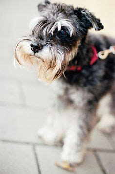 Do Schnauzers Shed A Lot by 1000 Images About Schnauzer On