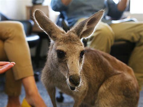 kangaroos fight in australian suburb