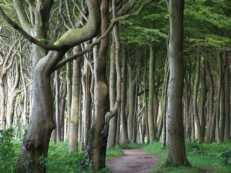 nienhagen wood alemanha quot ghost forrest nienhagen germany quot gespensterwald nienhagen