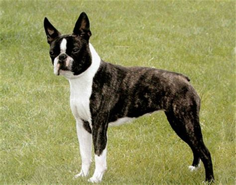 boston terrier puppies for sale in ny boston terrier puppies for sale puppy island