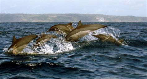 bali dolphin watching tours bali marine water sport