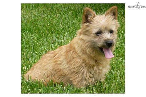 norwich terrier puppies for sale terrier breeder norwich terrier puppies for sale puppies breeds picture