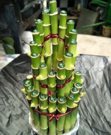 Tanaman Hias Bambu Hoki tanaman bambu hoki runcing bibitbunga