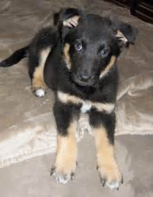 Border collie and german shepherd mix puppies dog breeds picture