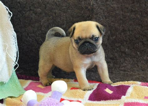pde pug kc pug puppy pde pk def dna tested tewkesbury gloucestershire pets4homes