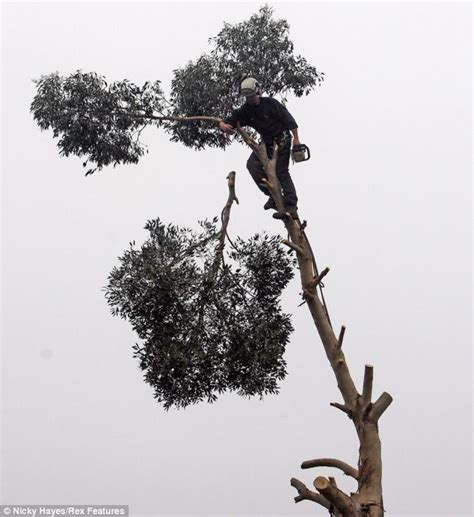 Foliage House Plant - fearless worker chops branches of eucalyptus tree 100ft in the air daily mail online