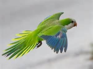quaker parrot facts lifespan behavior pet care
