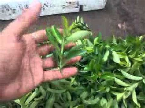 pembibitan tanaman asoka youtube