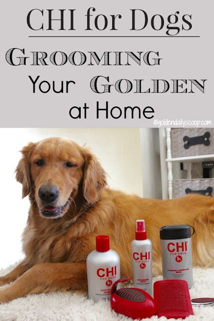 best way to groom a golden retriever grooming your golden retriever at home with chifordogs