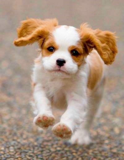 king cavalier spaniel puppies cavalier king charles spaniel puppies doglers