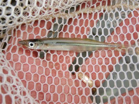 pa fish and boat commission hatcheries brooksilverside captured in the mon river near california pa
