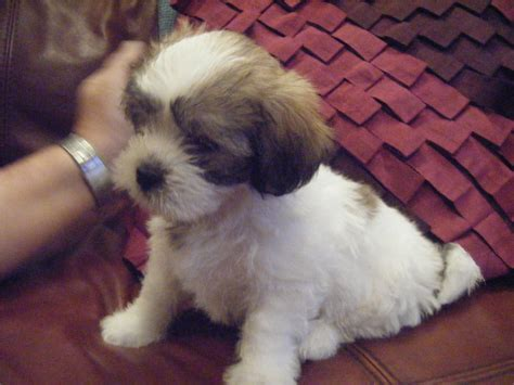 shih tzu x poodle for sale shih tzu x poodle puppies for sale macclesfield cheshire pets4homes