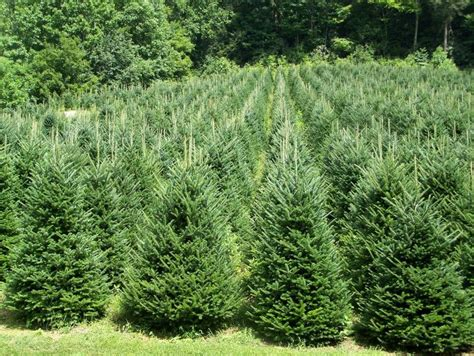 tis the season to plant live christmas trees or not