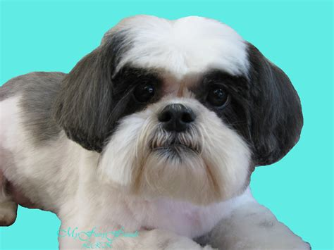 shih tzu hair types shih tzu hair