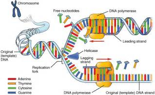 Dna Replica This Image Shows The Process Of Dna Replication A