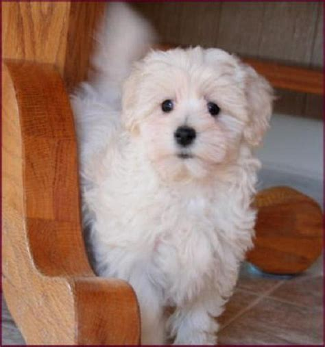 maltese poodle lifespan white maltese poodle puppies zoe fans i found gordo