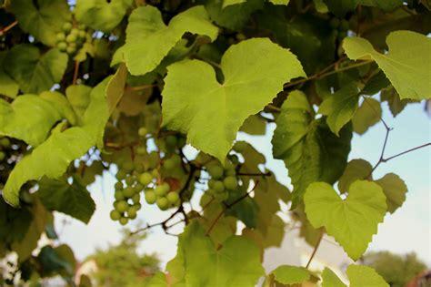 echte weinrebe vitis vinifera weinrebe garten wissen