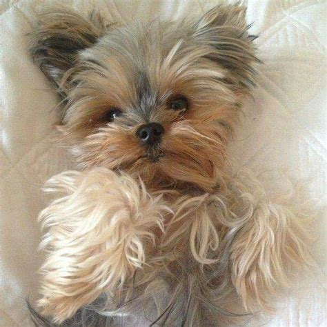 can yorkies eat cheese 5642 best images about yorkies on yorkie puppies for sale