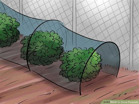 How Do Peanuts Grow Images