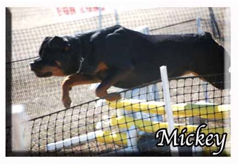 rottweiler pups for sale with docked tails rottweiler puppies for sale docked dogs in our photo
