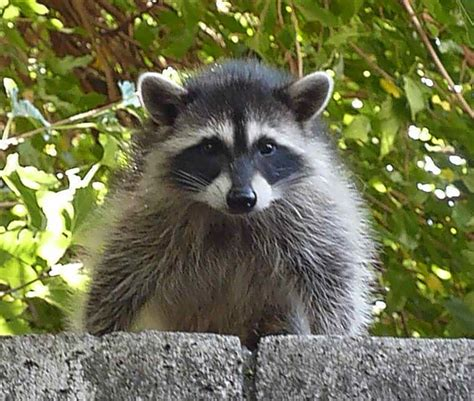 Raccoons In Backyard by Raccoon Backyard