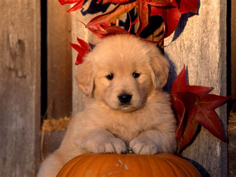 golden retriever puppies wallpapers autumn golden retriever puppy photo and wallpaper beautiful autumn golden retriever