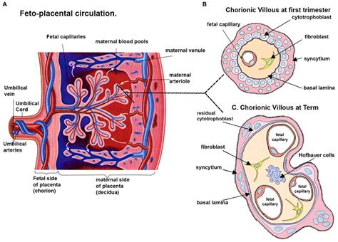 diagram of a placenta frontiers analysis of homeobox gene may reveal